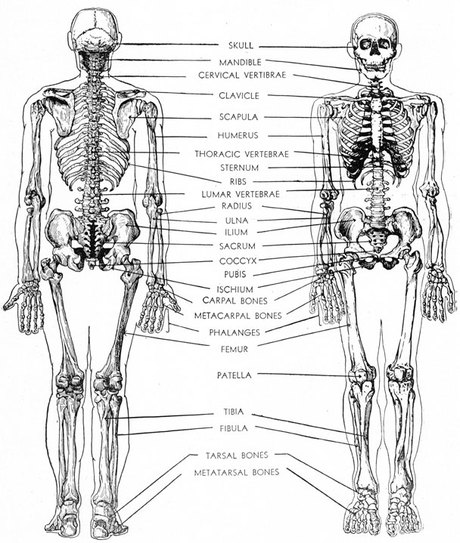 skeletal system - catherine dela cruz, Skeleton